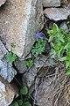Corydalis emanuelii 58709087.jpg