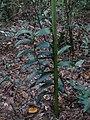 Corymborkis flava habitat.jpg