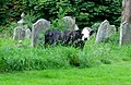 Cow grazing in St Peter's Churchyard - geograph.org.uk - 553267.jpg
