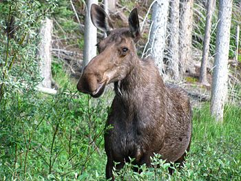 English: Cow moose