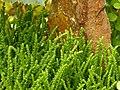 Crassula muscosa 'Princess Pine' Stems 3264px.jpg
