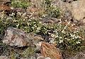 Creambush Holodiscus microphyllus plants.jpg