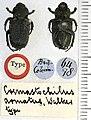 Cremastocheilus armatus Walker, 1866.jpg