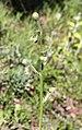 Crepis foetida inflorescence (17).jpg