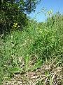 Crepis praemorsa sl1.jpg