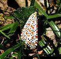Crimson Speckled. Utetheisa pulchella - Flickr - gailhampshire.jpg