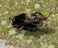 Criorhina ranunculi (male) - Flickr - S. Rae.jpg
