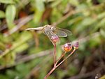 Crocothemis erythraea f berries.jpg