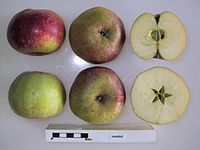 Cross section of Nanny, National Fruit Collection (acc. 1924-009).jpg