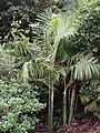 Cryphaea ovalifolia (C.Mull.) Jaeg. (AM AK299197-2).jpg