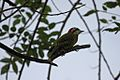 Cuban Green Woodpecker (Xiphidiopicus percussus) (8592687554).jpg