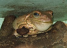 Cuban Tree Frog Image 003.jpg