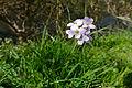 Cuckoo-flower (Cardamine pratensis) (16593450193).jpg