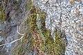 Cupressus nevadensis Hobo Ridge Grove (27) - Flickr - theforestprimeval.jpg