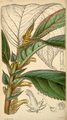 Curtis's Botanical Magazine, Plate 4294 (Volume 73, 1847).png