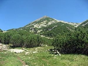 Pinus mugo - Image: Custura Bucurei