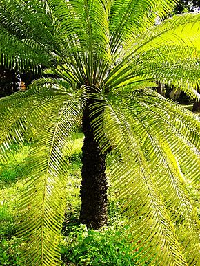 Description de l'image Cycas circinalis03.jpg.