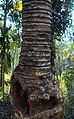 Cycas circinalis 03.JPG
