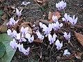 Cyclamen hederifolium clump1.jpg