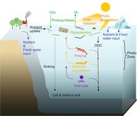 Cycling of marine phytoplankton.png