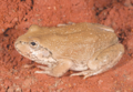Cyclorana occidentalis, male, lateral view.png