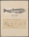 Cynodon scomberoides - 1700-1880 - Print - Iconographia Zoologica - Special Collections University of Amsterdam - UBA01 IZ14700085.tif