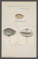Cypraea erosa - - Print - Iconographia Zoologica - Special Collections University of Amsterdam - UBAINV0274 088 02 0049.tif