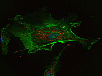 Cell (biology) - A fluorescent image of an endothelial cell. Nuclei are stained blue, mitochondria are stained red, and microfilaments are stained green.