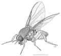 DIPT Simuliidae Austrosimulium australense.png