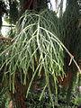 Dacrydium cupressinum - Palmengarten Frankfurt - DSC01912.JPG