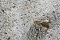 Dactylioglypha tonica (26162363062).jpg