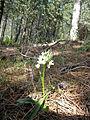 Dactylorhiza romana - Calabria.jpg