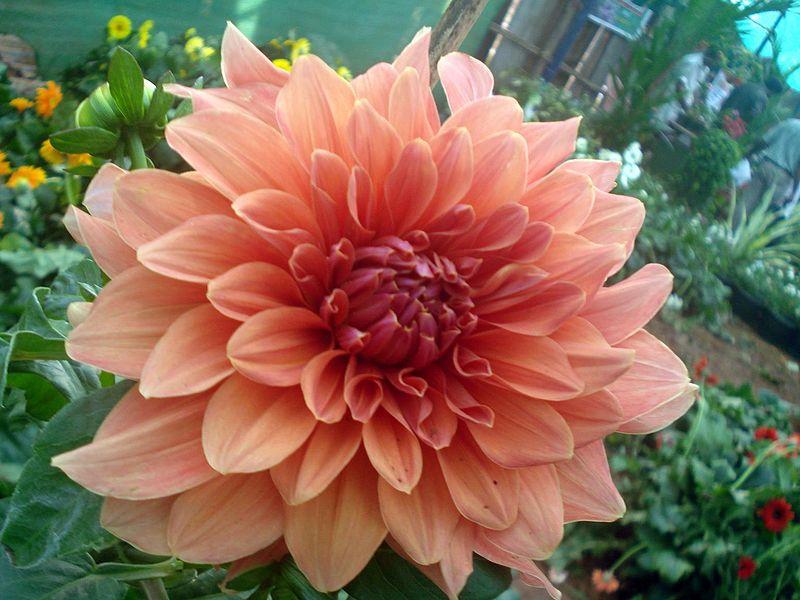 File:Dahlia flower 8.JPG