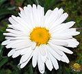 Daisy900ppx.jpg