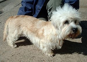 Dandie Dinmont Terrier - The mustard colour of the Dandie can be any shade including and between reddish brown and fawn