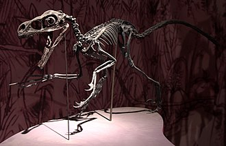 Dromaeosauridae - Mounted replica of a Bambiraptor feinbergi skeleton
