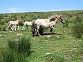 Dartmoor pony and foals - geograph.org.uk - 208444.jpg