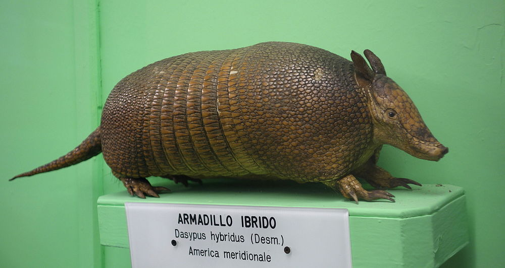 The average litter size of a Southern long-nosed armadillo is 8