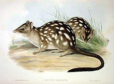 Dasyurus hallucatus - Gould.jpg