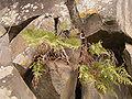 Davallia canariensis (Cueva del Belmaco) 01 ies.jpg