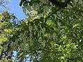 Davidia Involicrata (Vaantjesboom of zakdoekenboom) in Botanische tuin.jpg