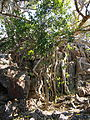 Deeringia amaranthoides shrub.jpg
