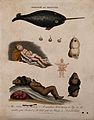 Deformed infants; and a narwhal. Coloured engraving by J. Pa Wellcome V0009587.jpg