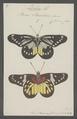 Delias - Print - Iconographia Zoologica - Special Collections University of Amsterdam - UBAINV0274 051 11 0002.tif