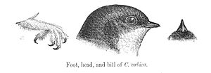 Delichon - Common house martin illustration showing the feathered leg and toes; and the short wide bill