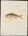 Dentex ruber - 1825-1839 - Print - Iconographia Zoologica - Special Collections University of Amsterdam - UBA01 IZ13000259.tif