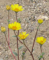Desert gold Geraea canascens flowers close.jpg