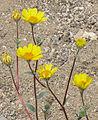 Desert gold Geraea canascens flowers close.jpg