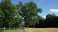 Dessau-Roßlau, Mildensee, oak natural monument with high water marks.jpg