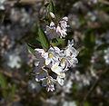 Deutzia gracilis E.jpg